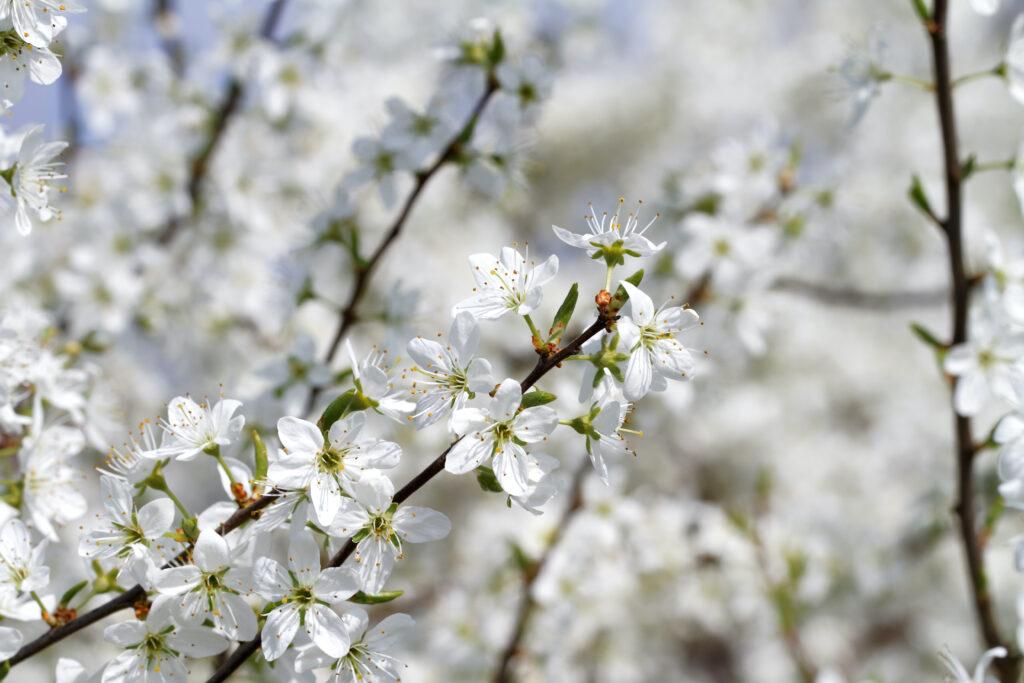 Blühender Schlehdorn