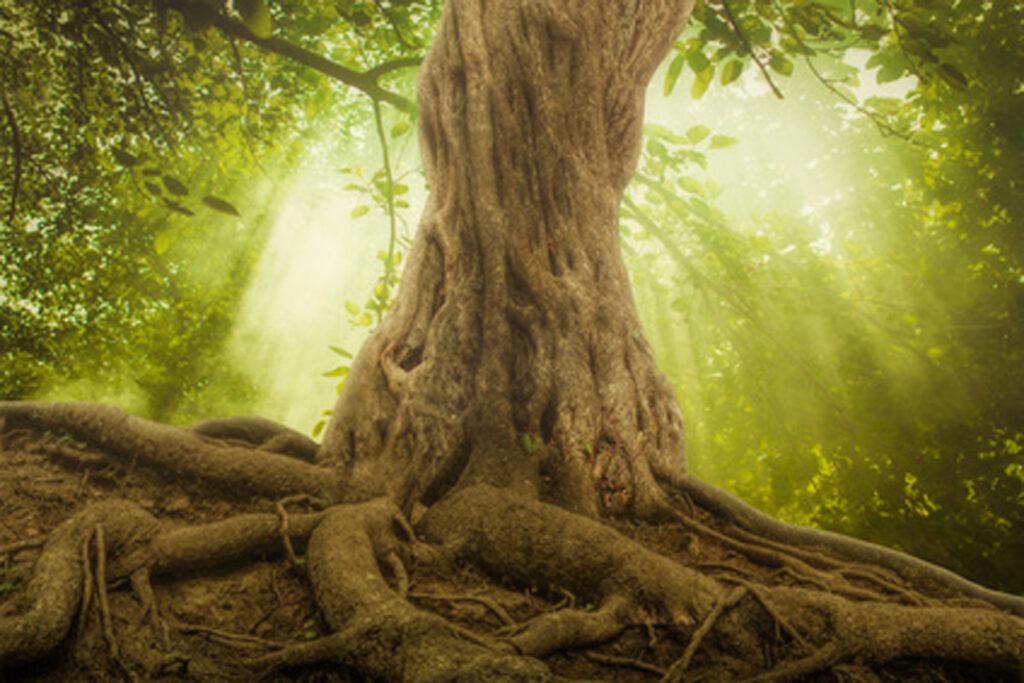 Großer verwurzelter Baum